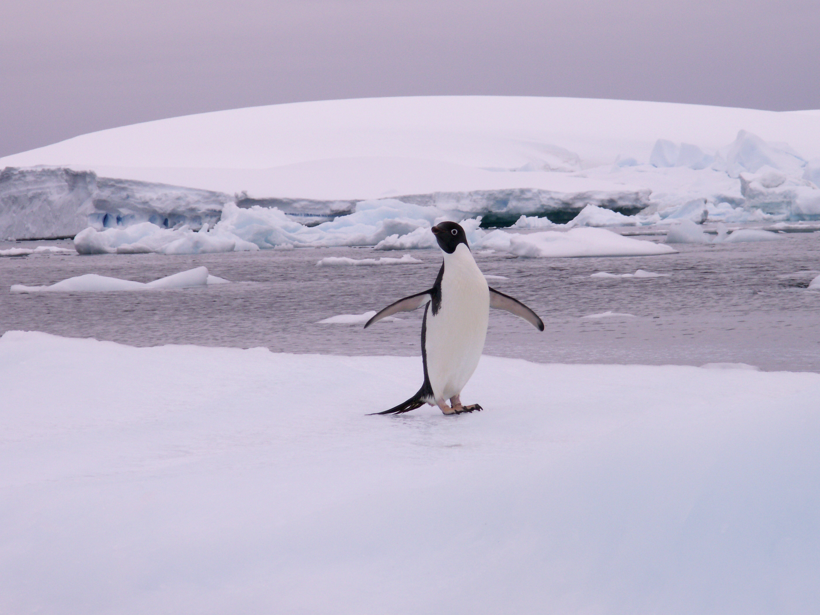 Penguin patiently waiting